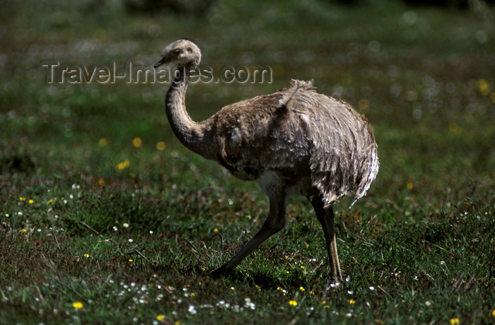 chile267: Torres del Paine National Park, Magallanes region, Chile: ñandu walking on the grass - lesser rhea, Pterocnemia pennata, ostrich-like flightless bird of southern Patagonia - photo by C.Lovell - (c) Travel-Images.com - Stock Photography agency - Image Bank