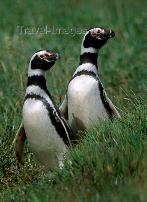 chile268: Otway Sound, Magallanes region, Chile: Magellanic penguins mate for life, like this couple in the Seno Otway Colony – Spheniscus magellanicus - Chilean Patagonia - photo by C.Lovell - (c) Travel-Images.com - Stock Photography agency - Image Bank