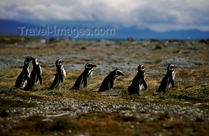 chile269: Otway Sound, Magallanes region, Chile: line of Magellanic penguins heading for the ocean – Seno Otway rookery - Spheniscus magellanicus - Chilean Patagonia - photo by C.Lovell - (c) Travel-Images.com - Stock Photography agency - Image Bank
