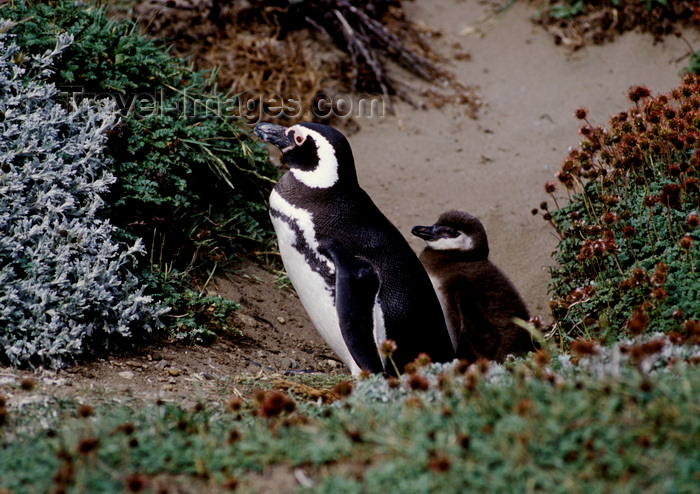 chile270: Otway Sound, Magallanes region, Chile: Magellanic penguins - parent with baby - Seno Otway rookery - Spheniscus magellanicus - Chilean Patagonia - photo by C.Lovell - (c) Travel-Images.com - Stock Photography agency - Image Bank