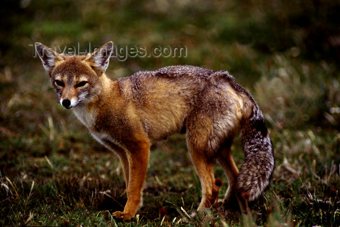 chile271: Torres del Paine National Park, Magallanes region, Chile: red fox - Pseudalopex culpaeus- Patagonian fauna - photo by C.Lovell - (c) Travel-Images.com - Stock Photography agency - Image Bank