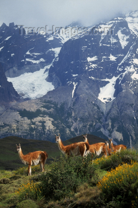 chile272: Torres del Paine National Park, Magallanes region, Chile: female guanacos and with Andean peak behind - Lama guanicoe - Chilean Patagonia - photo by C.Lovell - (c) Travel-Images.com - Stock Photography agency - Image Bank