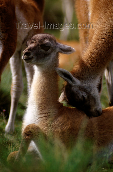 chile274: Torres del Paine National Park, Magallanes region, Chile: baby guanaco gets a caress from mum - Lama guanicoe - Patagonian fauna - photo by C.Lovell - (c) Travel-Images.com - Stock Photography agency - Image Bank