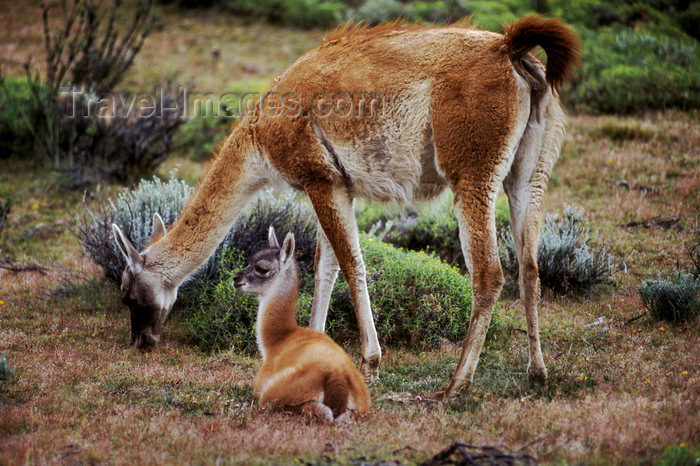 chile276: Torres del Paine National Park, Magallanes region, Chile: female guanaco with her baby in the steppe - Lama guanicoe - Chilean Patagonia - photo by C.Lovell - (c) Travel-Images.com - Stock Photography agency - Image Bank