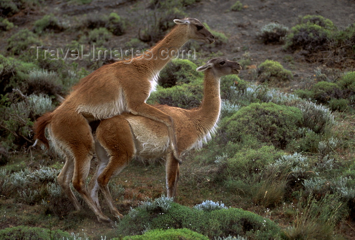 chile277: Torres del Paine National Park, Magallanes region, Chile: mating guanacos in the Patagonian steppe - Lama guanicoe copulating - photo by C.Lovell - (c) Travel-Images.com - Stock Photography agency - Image Bank