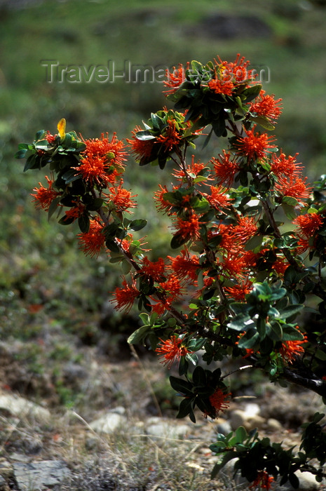 chile39: Torres del Paine National Park, Magallanes region, Chile: firebush flowers - Notro close up - Embothrium coccineum - Patagonian flora - photo by C.Lovell - (c) Travel-Images.com - Stock Photography agency - Image Bank