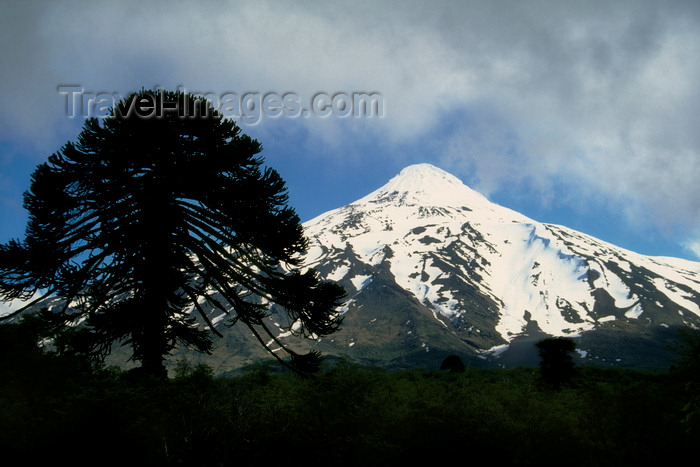 chile55: Villarrica Volcano National Park, Araucanía Region, Chile: Araucaria tree silhouette and snow covered Lanin Volcano - Araucaria Araucana - Lake District of Chile - photo by C.Lovell - (c) Travel-Images.com - Stock Photography agency - Image Bank
