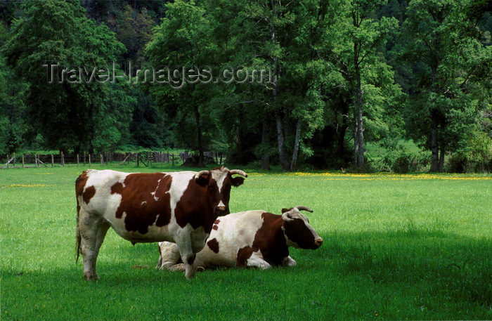 chile57: Puesco, Araucanía Region, Chile: beef cattle on lush pasture - Lake District of Chile - photo by C.Lovell - (c) Travel-Images.com - Stock Photography agency - Image Bank