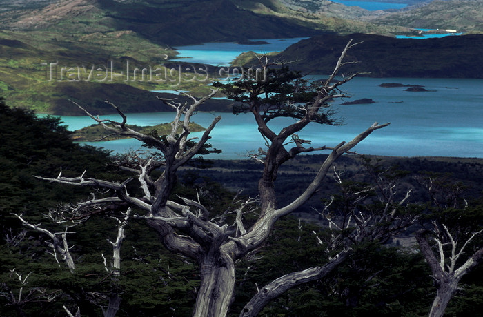 chile60: Torres del Paine National Park, Magallanes region, Chile: guindo or beech tree and Lake Nordenskjöld seen from French Valley- photo by C.Lovell - (c) Travel-Images.com - Stock Photography agency - Image Bank