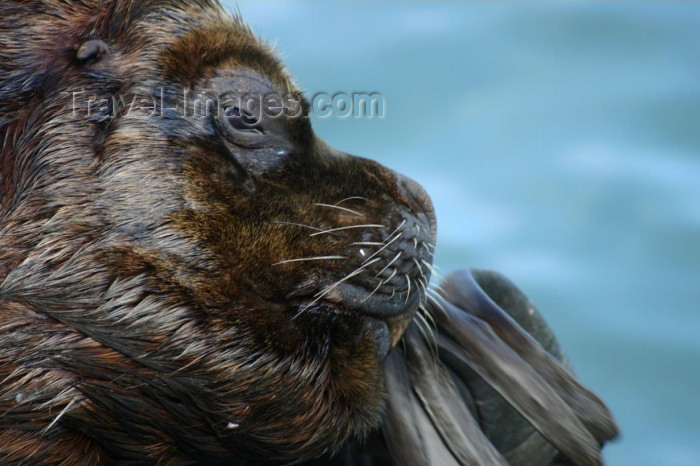 chile91: Valdivia, Los Rios, Chile: sea lion - face close-up - photo by N.Cabana - (c) Travel-Images.com - Stock Photography agency - Image Bank