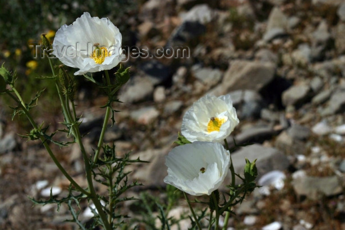 chile95: Chile - Desierto Florido, Llanos de Challe National Park, Atacama Region: white flowers - photo by N.Cabana - (c) Travel-Images.com - Stock Photography agency - Image Bank