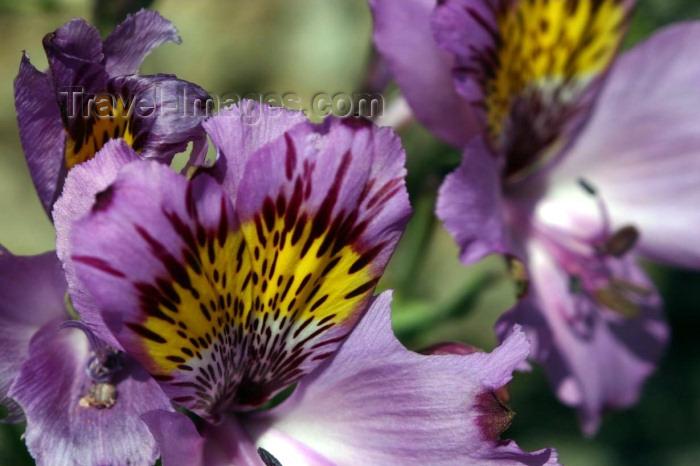 chile96: Chile - Desierto Florido, Llanos de Challe National Park, Atacama Region: flower close-up - photo by N.Cabana - (c) Travel-Images.com - Stock Photography agency - Image Bank