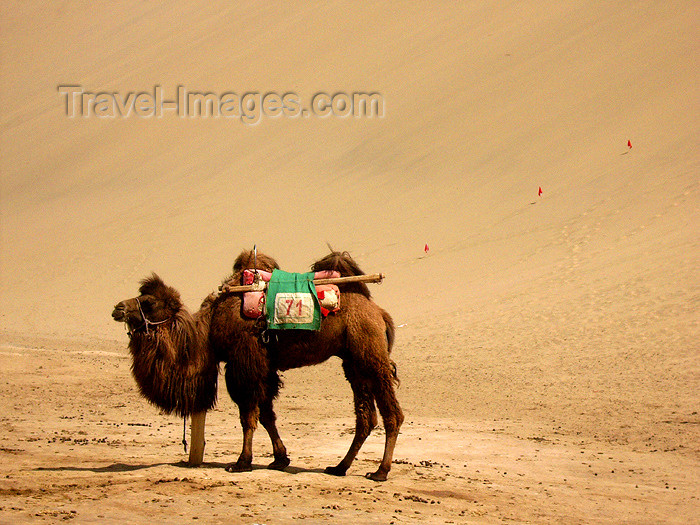 china187: China - Dunhuang - Mingsha Mountain (Jiuquan, Gansu province): bactrian camel in the dunes - Camelus bactrianus - Central Asian fauna - photo by M.Samper - (c) Travel-Images.com - Stock Photography agency - Image Bank