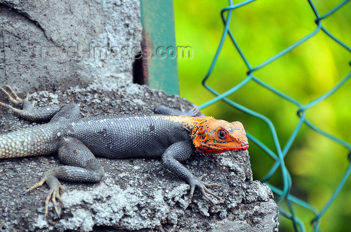 comoros81: Moroni, Grande Comore / Ngazidja, Comoros islands: lizard with orange head - photo by M.Torres - (c) Travel-Images.com - Stock Photography agency - Image Bank