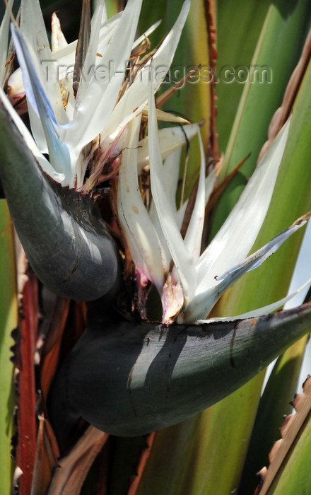congo-dr36: Goma, Nord-Kivu, Democratic Republic of the Congo: flower detail of a Giant White Bird of Paradise aka Wild Banana - Strelitzia nicolai - Strelitziaceae - monocotyledonous flowering plant - inflorescence composed of a bract, sepals and a 'tongue' - photo by M.Torres - (c) Travel-Images.com - Stock Photography agency - Image Bank