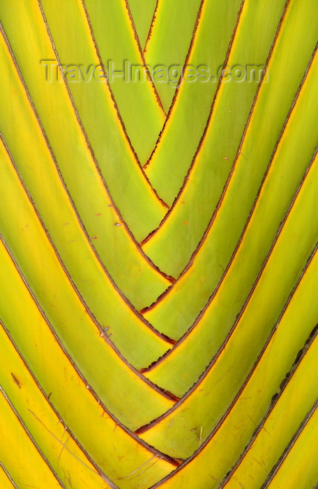 congo18: Brazzaville, Congo: detail of a travellers' palm - Ravenala madagascariensis - central part of the 'fan' - photo by M.Torres - (c) Travel-Images.com - Stock Photography agency - Image Bank