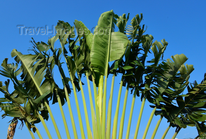 congo19: Brazzaville, Congo: detail of a travellers' palm - Ravenala madagascariensis - fan of leaves against the sky - photo by M.Torres - (c) Travel-Images.com - Stock Photography agency - Image Bank