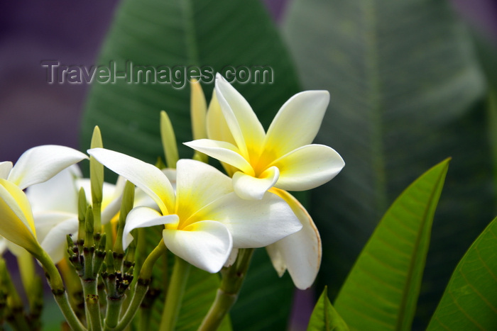 congo39: Brazzaville, Congo: white frangipani flowers on the tree - Plumeria alba - photo by M.Torres - (c) Travel-Images.com - Stock Photography agency - Image Bank