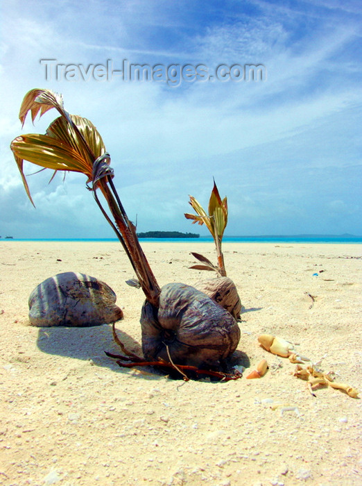 cook16: Cook Islands - Aitutaki island: sprouting coconut on the sandbar - photo by B.Goode - (c) Travel-Images.com - Stock Photography agency - Image Bank