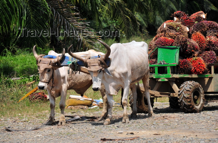 costa-rica101: Parrita, Puntarenas province, Costa Rica: oxcart - fruit of the Arecaceae Elaeis oil palm on thw way to a palm oil factory - photo by M.Torres - (c) Travel-Images.com - Stock Photography agency - Image Bank