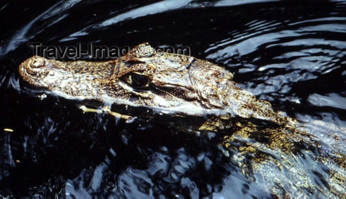 costa-rica11: Costa Rica: caiman swimming - Caiman crocodilus - photo by W.Schipper - (c) Travel-Images.com - Stock Photography agency - Image Bank