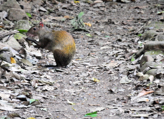 costa-rica122: Carara National Park, Puntarenas province, Costa Rica: Central American Agouti looking for seeds - Dasyprocta punctata - mammal - fauna - photo by M.Torres - (c) Travel-Images.com - Stock Photography agency - Image Bank