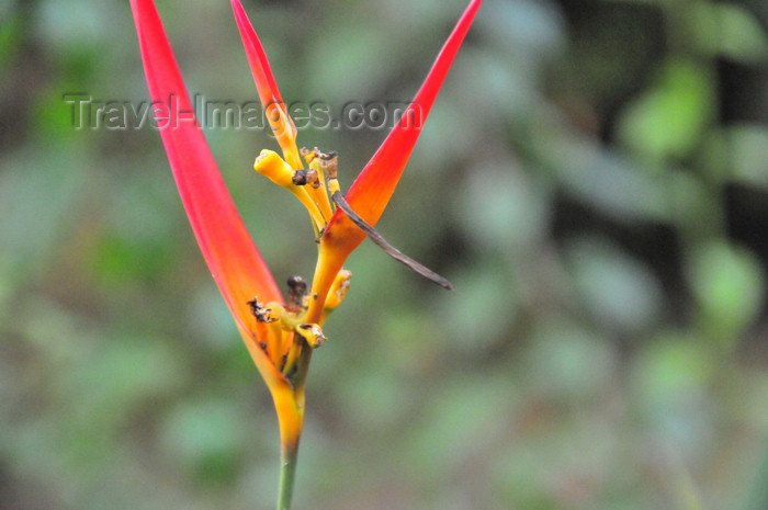 costa-rica124: Carara National Park, Puntarenas province, Costa Rica: wild Heliconia flower - photo by M.Torres - (c) Travel-Images.com - Stock Photography agency - Image Bank