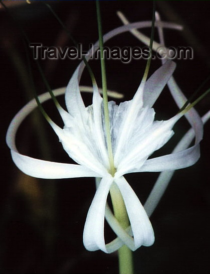 costa-rica13: Costa Rica: white Tiger lily - flower - photo by W.Schipper - (c) Travel-Images.com - Stock Photography agency - Image Bank