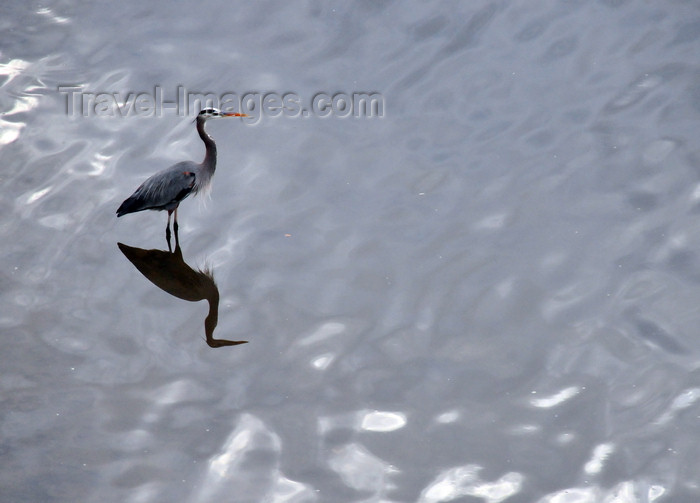 costa-rica131: Río Grande de Tárcoles, Puntarenas province, Costa Rica: Great Blue Heron , Ardea herodias in the river - photo by M.Torres - (c) Travel-Images.com - Stock Photography agency - Image Bank