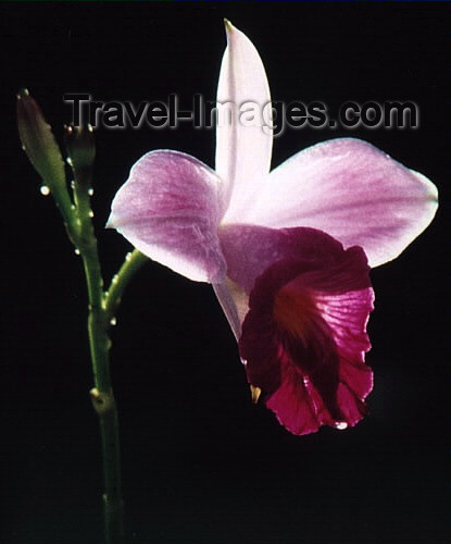 costa-rica14: Costa Rica - flower - orchid - photo by W.Schipper - (c) Travel-Images.com - Stock Photography agency - Image Bank