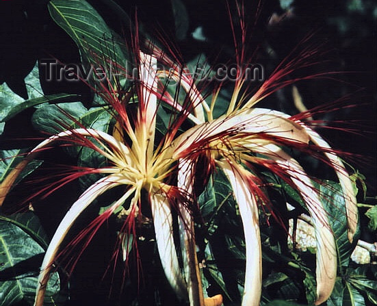 costa-rica16: Costa Rica - giant flowers - photo by W.Schipper - (c) Travel-Images.com - Stock Photography agency - Image Bank
