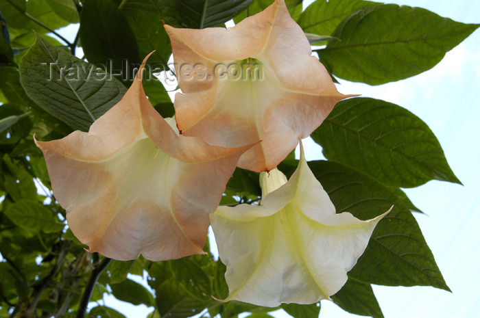 costa-rica40: Costa Rica: Bell Flowers, near San Jose - photo by B.Cain - (c) Travel-Images.com - Stock Photography agency - Image Bank