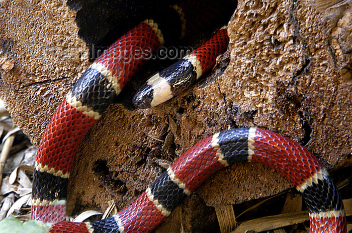 costa-rica42: Costa Rica, Monteverde: coral snake - elapid snakes - reptile - photo by B.Cain - (c) Travel-Images.com - Stock Photography agency - Image Bank