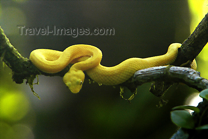 costa-rica43: Costa Rica, Tortuguero National park, Limón province: Eyelash Viper in wild - Bothriechis schleglii - venomous reptile - photo by B.Cain - (c) Travel-Images.com - Stock Photography agency - Image Bank