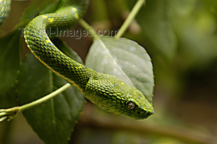 costa-rica46: Costa Rica, Monteverde reserve: Green snake - reptile - photo by B.Cain - (c) Travel-Images.com - Stock Photography agency - Image Bank
