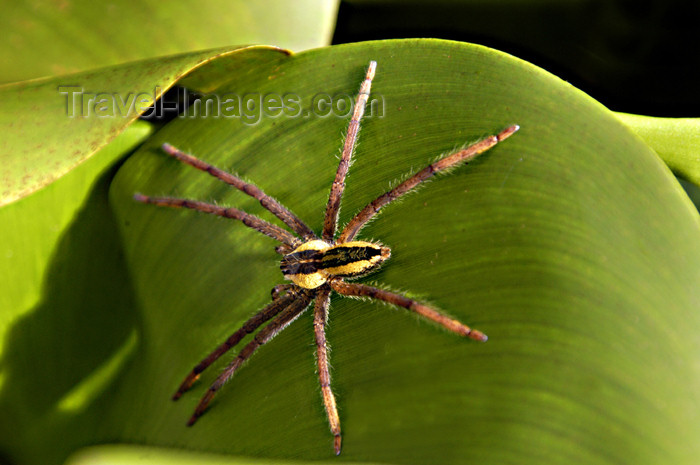 costa-rica49: Costa Rica, Tortuguero National park: large wolf spider on a leaf - photo by B.Cain - (c) Travel-Images.com - Stock Photography agency - Image Bank