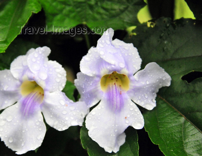 costa-rica5: Puerto Viejo de Sarapiquí, Heredia province, Costa Rica: two orchids with rain drops - photo by M.Torres - (c) Travel-Images.com - Stock Photography agency - Image Bank