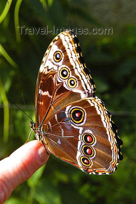 costa-rica50: Costa Rica: Morpho Butterfly on finger - photo by B.Cain - (c) Travel-Images.com - Stock Photography agency - Image Bank