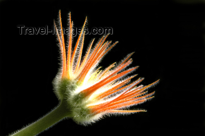 costa-rica52: Costa Rica: orange flower, black background - photo by B.Cain - (c) Travel-Images.com - Stock Photography agency - Image Bank