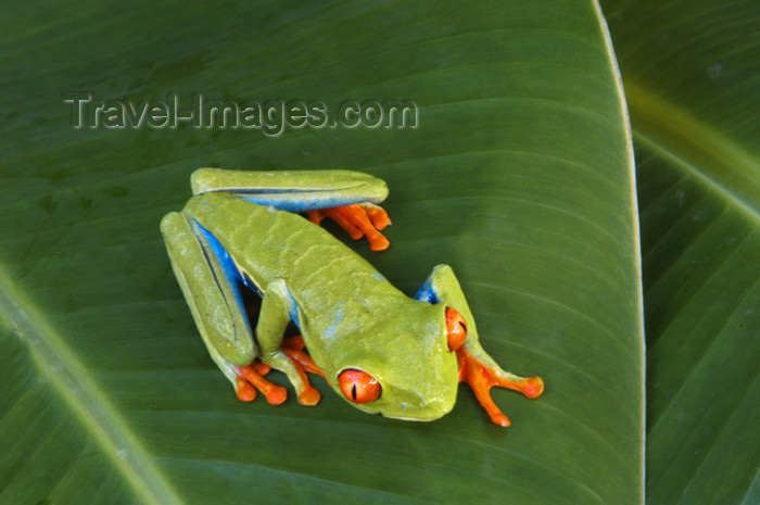 costa-rica53: Costa Rica, Tortuguero National park, Limón Province: orange-toed tree frog - arboreal hylid - photo by B.Cain - (c) Travel-Images.com - Stock Photography agency - Image Bank
