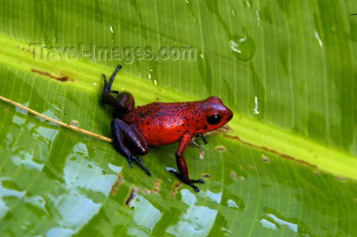 costa-rica57: Costa Rica, Tortuguero National Park, Limon: Red tree frog on a banana tree leaf - photo by B.Cain - (c) Travel-Images.com - Stock Photography agency - Image Bank