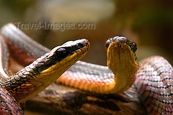 costa-rica64: Costa Rica - Snake and reflection,Monteverde - photo by B.Cain - (c) Travel-Images.com - Stock Photography agency - Image Bank