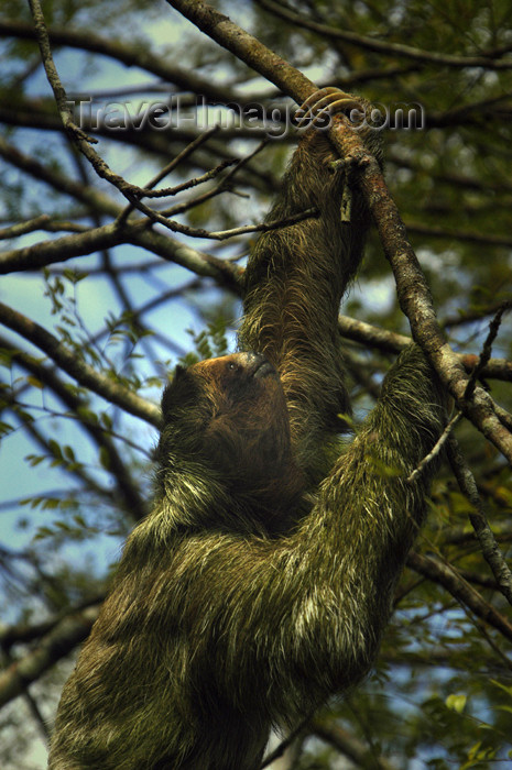 costa-rica67: Costa Rica - Three Toed Sloth climbing tree - Bradypodida - brown-throated Sloth, Bradypus variegatus - photo by B.Cain - (c) Travel-Images.com - Stock Photography agency - Image Bank