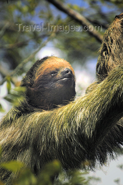 costa-rica68: Costa Rica - Three toed sloth close-up - brown-throated Sloth, Bradypus variegatus - wildlife - photo by B.Cain - (c) Travel-Images.com - Stock Photography agency - Image Bank