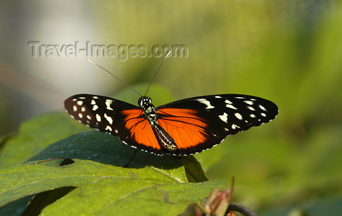costa-rica69: Costa Rica: Tiger Butterfly - Heliconius hecale - Tiger Longwing - photo by B.Cain - (c) Travel-Images.com - Stock Photography agency - Image Bank