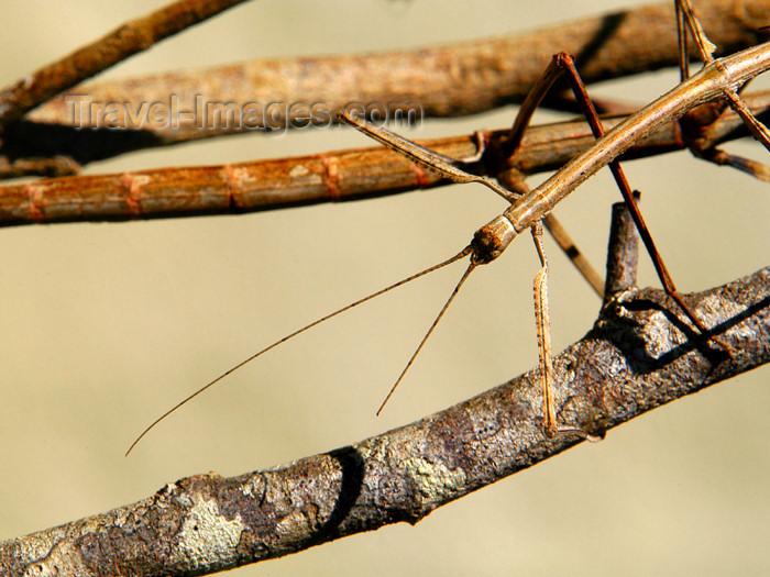 costa-rica71: Costa Rica: walking stick - stick insect - Phasmatodea - photo by B.Cain - (c) Travel-Images.com - Stock Photography agency - Image Bank