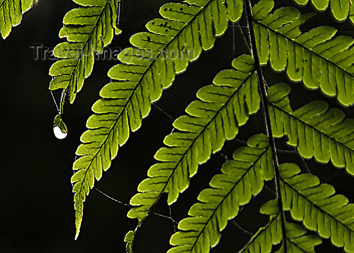 costa-rica72: Costa Rica: water droplet on a fern leaf - photo by B.Cain - (c) Travel-Images.com - Stock Photography agency - Image Bank