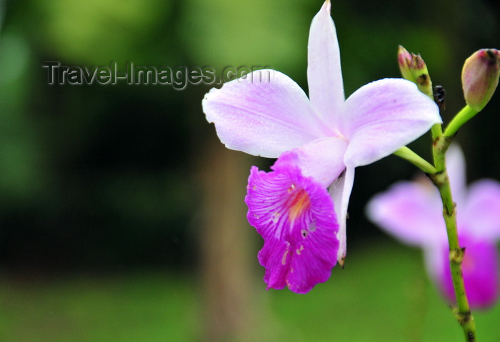 costa-rica83: Puerto Viejo de Sarapiquí, Heredia province, Costa Rica: white and magenta  orchid - photo by M.Torres - (c) Travel-Images.com - Stock Photography agency - Image Bank