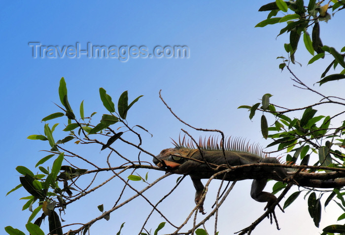 costa-rica84: Puerto Viejo de Sarapiquí, Heredia province, Costa Rica: spinytail iguana on a tree above the banks of the Sarapiquí river - Ctenosaura - photo by M.Torres - (c) Travel-Images.com - Stock Photography agency - Image Bank