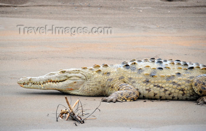 costa-rica85: Puerto Viejo de Sarapiquí, Heredia province, Costa Rica: American crocodile resting on a beach on the Sarapiquí river - Crocodylus acutus - Caribbean lowlands - photo by M.Torres - (c) Travel-Images.com - Stock Photography agency - Image Bank